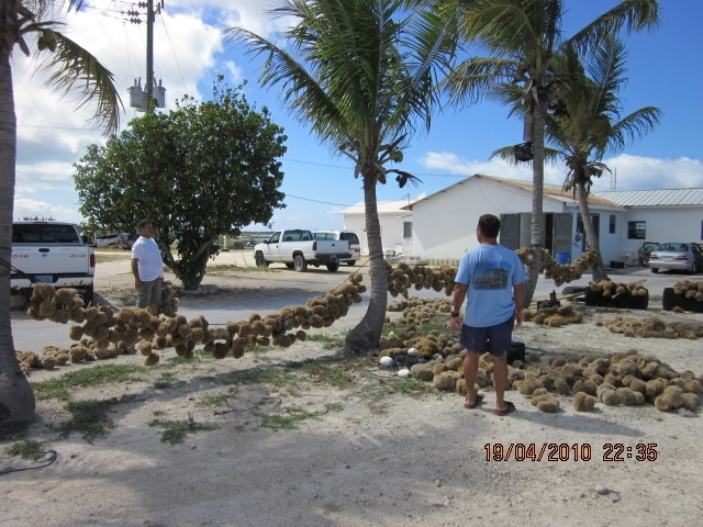 Sponge Industry in the Bahamas