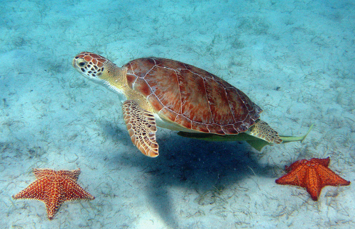 Green Sea Turtle photo by Caroline Rogers