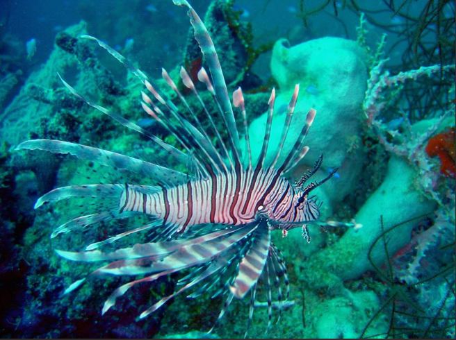 Invasive Lionfish photo credit NOAA