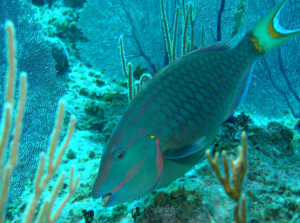 Parrot Fish photo courtesy of NOAA