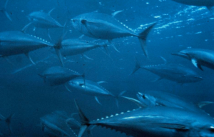 Bluefin Tuna Photo courtesy of NOAA