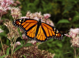 Monarch Butterfly Photo by Hope Ryden
