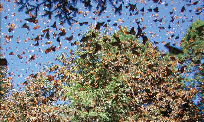 Monarch Butterflies photo by Natural Habitat Adventures