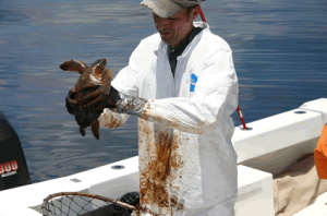 Oil Covered Turtle photo credit NOAA