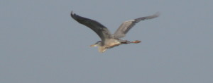 Blue Heron In Flight-SUP Radio Show