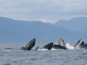 Humpback Whales Great Bear Rainforest-Bob Purdy-Sup radio