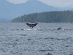 Humpback Whales in the Great Bear Sea-SUP Radio Show