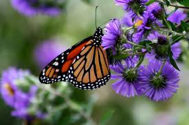 Monarch butterfly a subtle sign of autumn- By Christian Wagley-SUP Radio Show